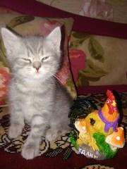 Продаётся британский котёнок