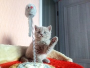 Продам котенка