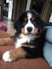 Продам щенка Бернского Зенненхунда
